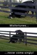 Animale - Un ghinion nu vine niciodata singur