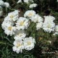 Flori - Gypsophila Paniculata sau Floarea Miresei