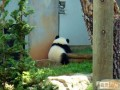 Animale - La panda