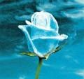 Flori - Trandafirul zapezii