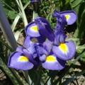 Flori - Iris