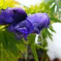 Flori - Lacrima