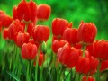 Flori - Lalele rosii