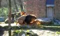 Animale - Leu in calduri