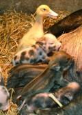 Animale - Mancam cu toti la gramada