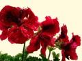 Flori - Muscata rosie