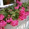 Flori - Muscate curgatoare