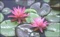 Flori - Nuferi