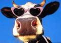 Animale - O vaca cool
