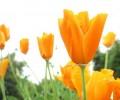 Flori - Lalele