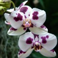 Flori - Orhidee