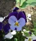 Flori - Panseluta