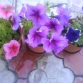 Flori - Petunii