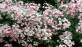 Flori - Trandafir roz
