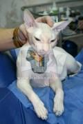 Animale - Pisica tatuata