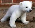 Animale - Micul urs polar