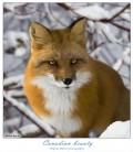Animale - Vulpe sireata